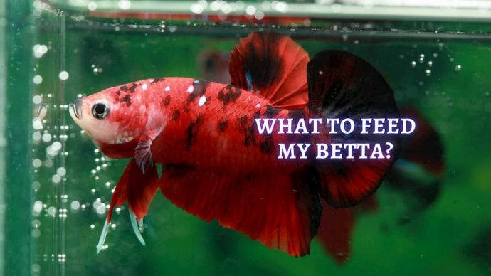 what to feed betta fish