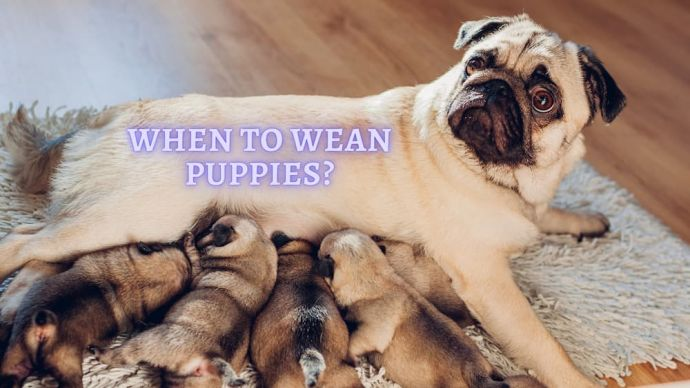 when to wean puppies