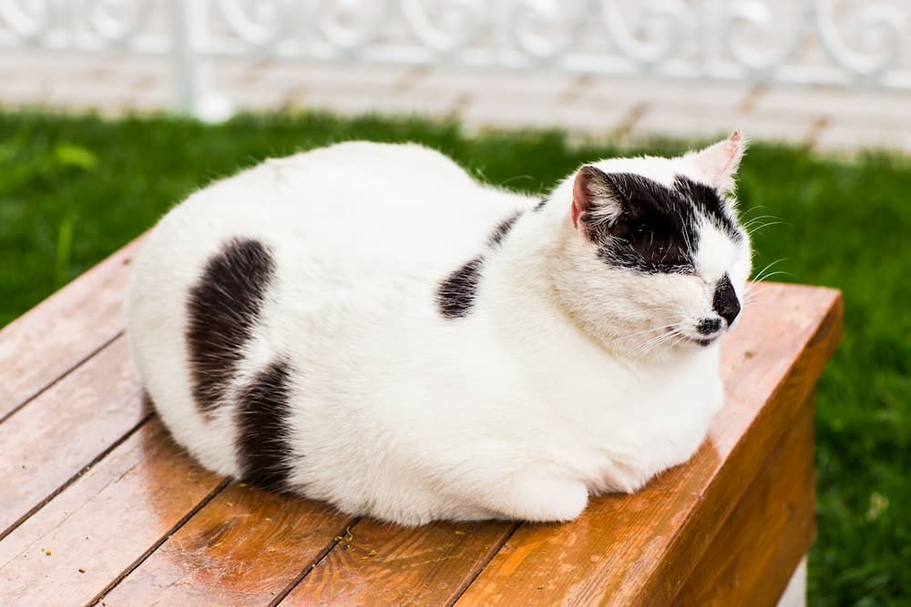 why do cats gain weight