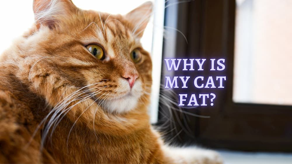 why my cat fat