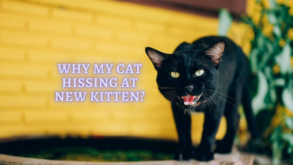 why my cat hissing at new kitten