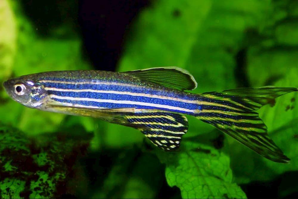 zebra danio fish easiest to breed