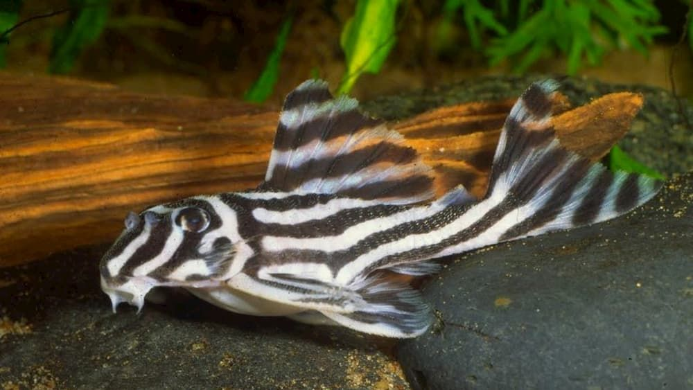 zebra plecos most exotic freshwater fish